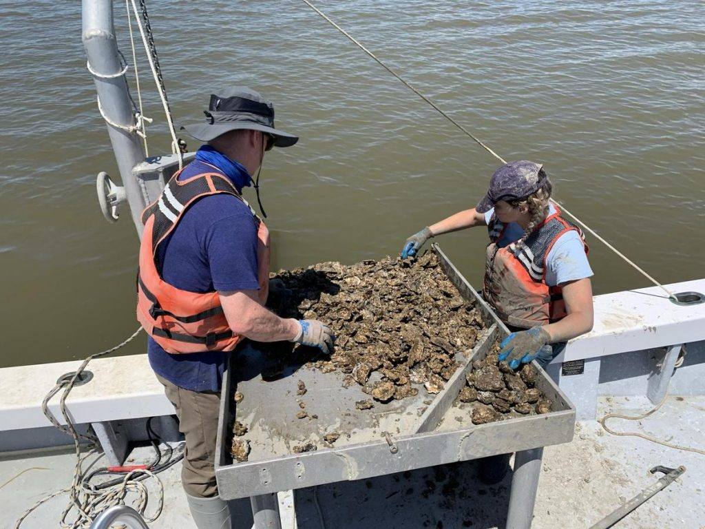 Virginia Institute of Marine Science scientists Ryan Carnegie and Lúcia Safi harvest oysters for research.