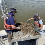 Wild Oysters Overcoming 35-Year Struggle with Deadly Parasite